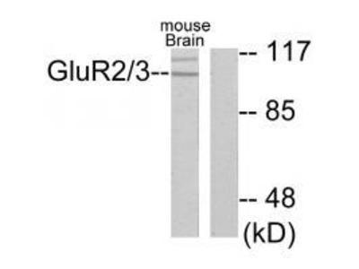 Anti-GluR2/3 Antibody