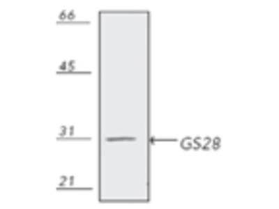 Anti-GS28 Antibody (Monoclonal, HFD9)