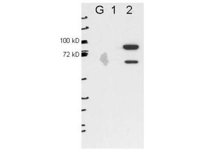 Anti-Esrp-2 Monoclonal Antibody