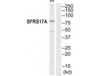 Anti-SFRS17A Antibody