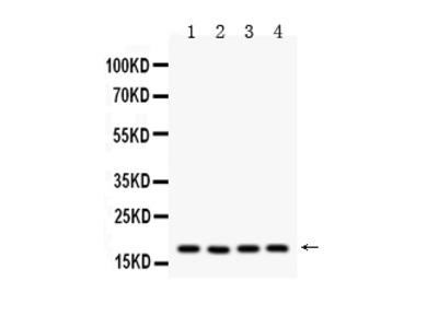 Anti-Cyclophilin A/PPIA Picoband Antibody