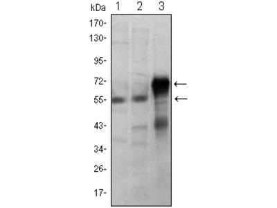 Anti-ETS1 Monoclonal Antibody