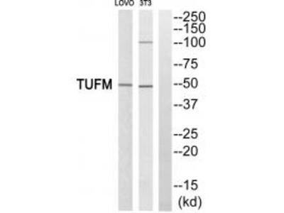 Anti-TUFM Antibody