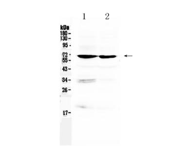 Anti-BMAL1/ARNTL Picoband Antibody