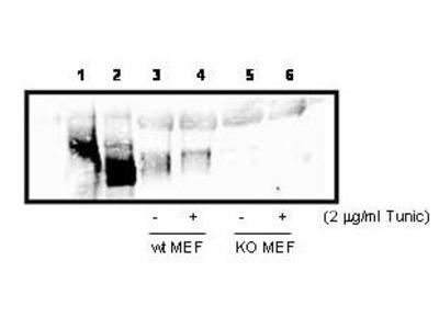 Anti-PERK EIF2AK3 Antibody