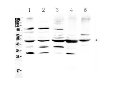Anti-Bag5 Antibody Picoband