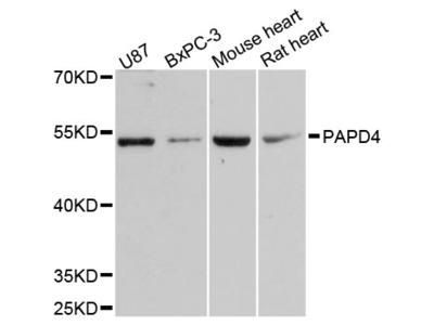 Anti-RANTES CCL5 Antibody