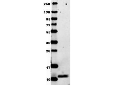 Anti-MIP-1 alpha CCL3 Antibody