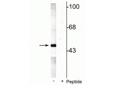 Anti-Phospho-MEK5 (Ser311 Thr315) Antibody
