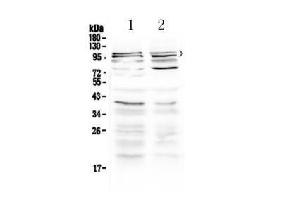 Anti-TRPC3 Picoband Antibody
