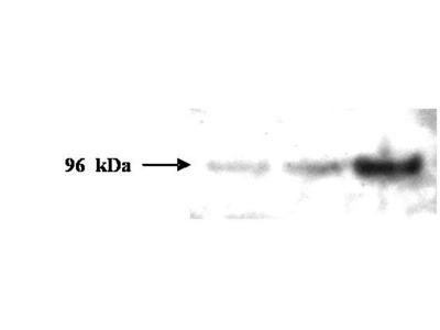 Anti-PMS2 Monoclonal Antibody