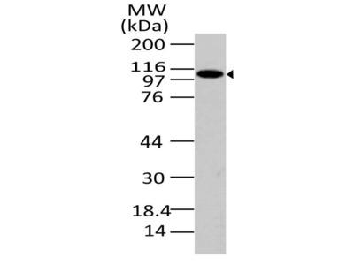Anti-PACS-1 Antibody