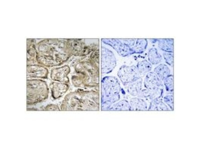 Anti-CST9L Antibody
