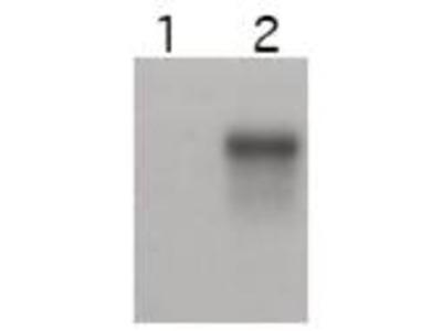Anti-Cyclin E2 CCNE2 Antibody