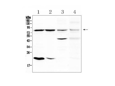 Anti-DLL4 Picoband Antibody