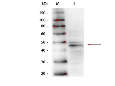 Anti-GATA4 Monoclonal Antibody