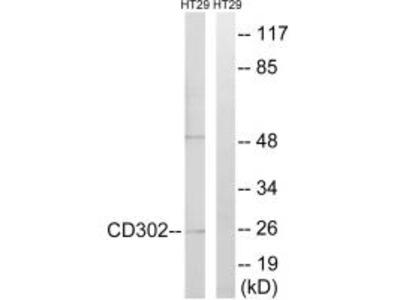 Anti-CD302/Dcl 1 Antibody