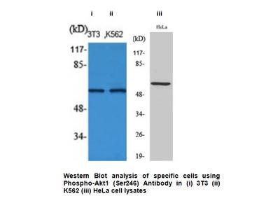 Phospho-Akt1 (Ser246) Antibody