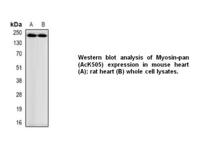 Anti- Myosin-pan Antibody