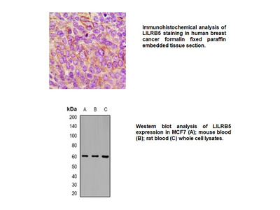 Anti-LILRB5 Antibody