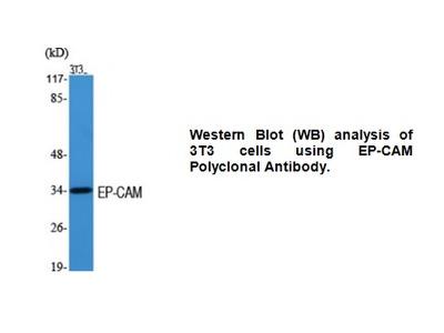 Anti-EP-CAM Antibody