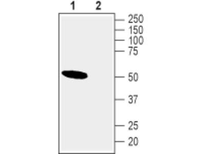 Anti-Nicotinic Acetylcholine Receptor alpha10 (CHRNA10) Antibody