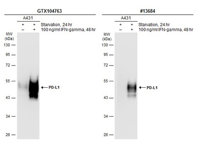 Great PDL1 Antibody for Western Blot