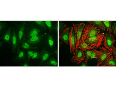 Anti-Cyclin D3 antibody