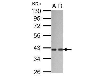 Anti-G protein alpha 12 antibody [N3C3]