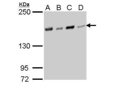Anti-NFKBIL2 antibody [GT377]