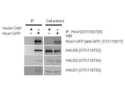 Anti-HAUS1 antibody [N1C3]