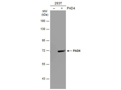 Anti-PAD4 antibody [N1N3]