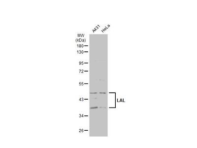 Anti-LAL antibody [N3C3]