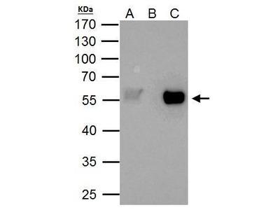 Anti-TAF7 antibody