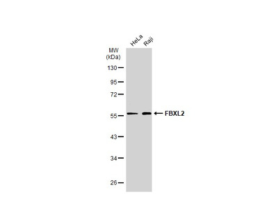 Anti-FBXL2 antibody [N1], N-term