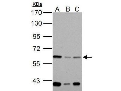 Anti-NOX1 antibody