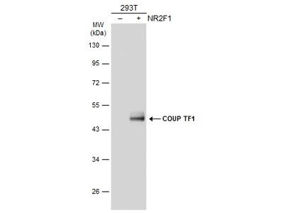 Anti-COUP TF1 antibody [N3C3]