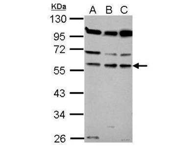 Anti-Coronin 1B antibody [N2C2], Internal