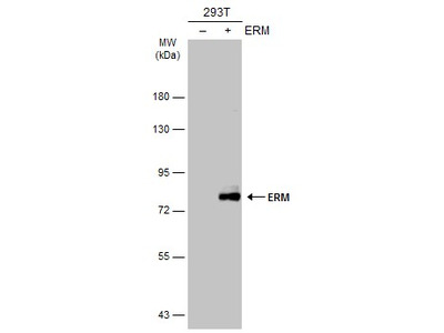 Anti-ERM antibody