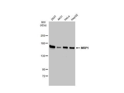 MRP1 Antibody for Western Blot