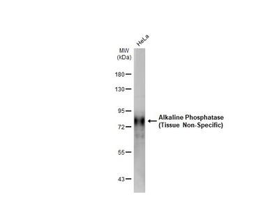 Anti-Alkaline Phosphatase (Tissue Non-Specific) antibody