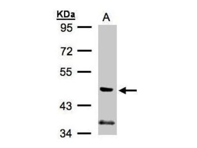 Anti-PI3 kinase p55 gamma antibody