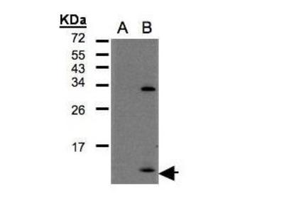 Anti-CXCL1 / GRO alpha antibody [N3C3]