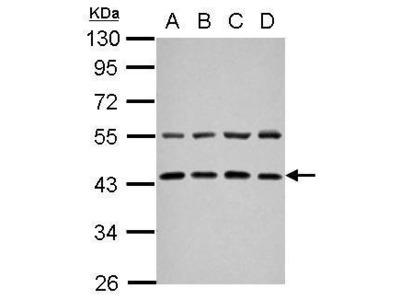 Anti-ZFYVE27 antibody [N3C3]