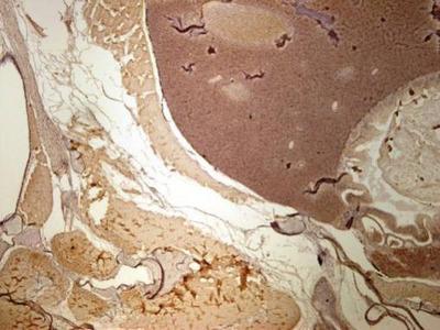 Anti-Tubb1 antibody