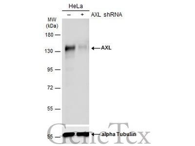 Anti-AXL antibody