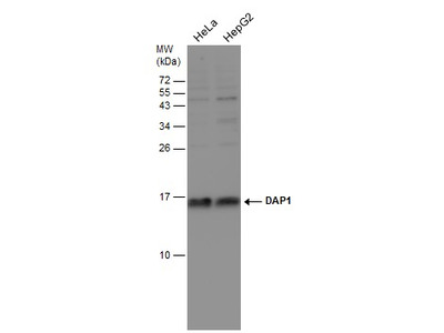 Anti-DAP1 antibody