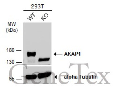 Anti-AKAP1 antibody [N1N2], N-term
