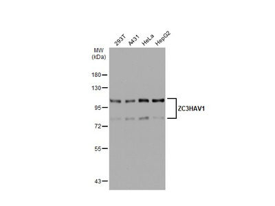 Anti-ZC3HAV1 antibody [N3C2], Internal