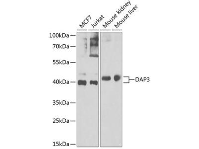 Anti-DAP3 antibody